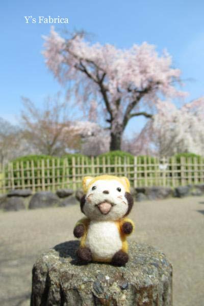 京都、円山公園の枝垂桜♪