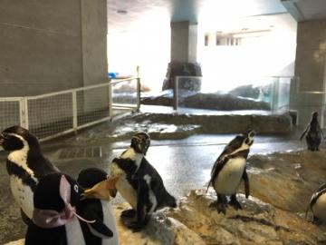 20180323-温帯ペンギン (1)