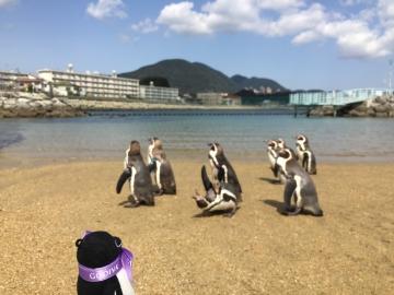 20180323-ふれあいペンギンビーチのフンボルトペンギン (12)