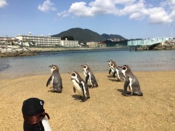 20180323-ふれあいペンギンビーチのフンボルトペンギン (14)