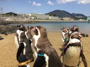 20180323-ふれあいペンギンビーチのフンボルトペンギン (8)