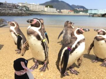 20180323-ふれあいペンギンビーチのフンボルトペンギン (9)
