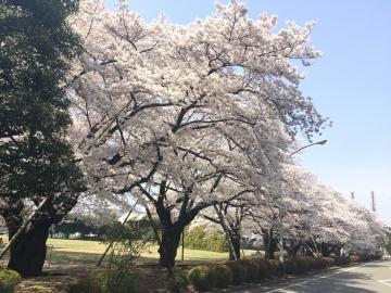 20180329-桜 (2)
