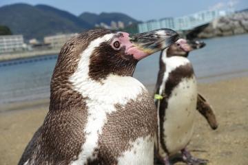 20180323-ふれあいペンギンビーチのフンボルトペンギン (76)
