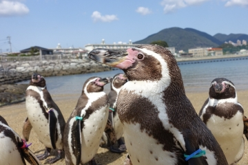 20180323-ふれあいペンギンビーチのフンボルトペンギン (75)