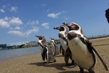 20180323-ふれあいペンギンビーチのフンボルトペンギン (72)