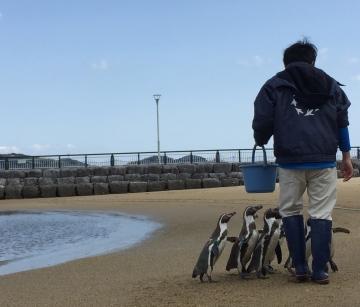 20180323-ふれあいペンギンビーチのフンボルトペンギン (33)-加工