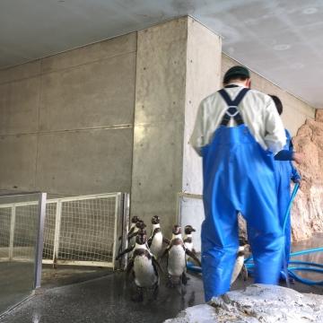 20180323-フンボルトペンギンのお帰り (2)