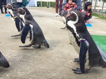 20180323-ふれあいペンギンビーチのフンボルトペンギン帰る-加工