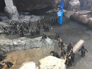 20180323-温帯ペンギンの食事pm (2)
