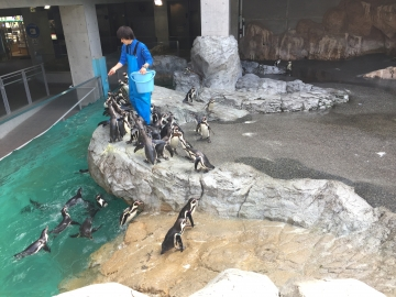 20180323-温帯ペンギンの食事pm (4)