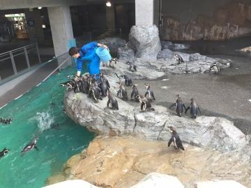 20180323-温帯ペンギンの食事pm (3)