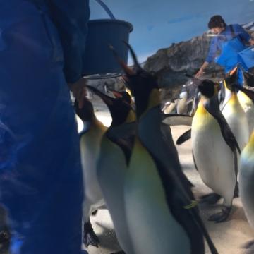 20180323-亜南極ペンギンの食事タイムpm (1)