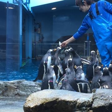 20180323-亜南極ペンギンの食事タイムpm (3)