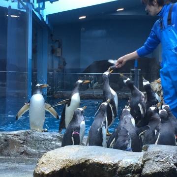 20180323-亜南極ペンギンの食事タイムpm (2)