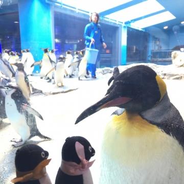 20180323-亜南極ペンギンの食事タイムpm (8)