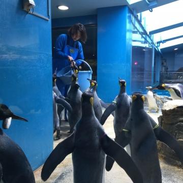 20180323-亜南極ペンギンの食事タイムpm (5)