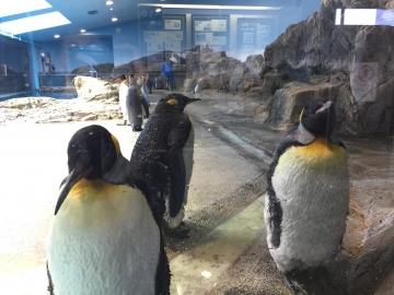 20180323-亜南極ペンギンの食事タイムpm (9)