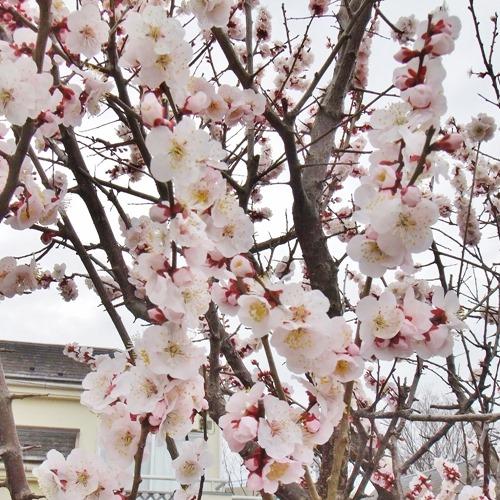 180305ume_blossom2