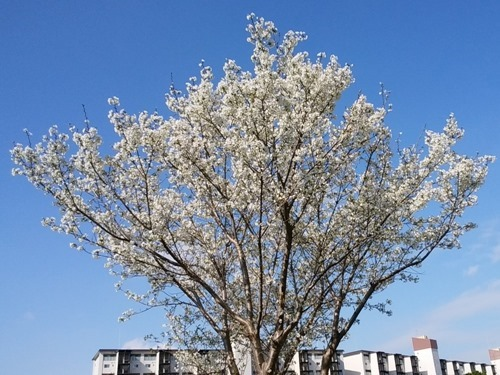 180324cherry_blossom