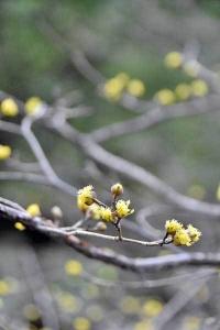 Japanese cornelian cherry