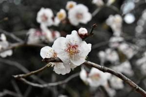 Ume Plum blossom