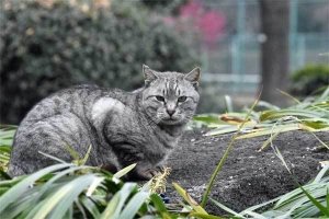 日比谷公園の猫 Gure The Cat