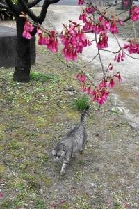 寒緋桜猫 in 日比谷公園 Gure The Cat