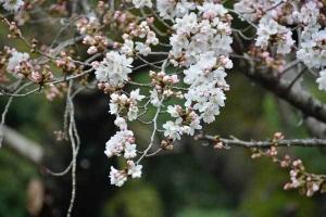 咲き始め日比谷公園の桜 Sakura Blossom