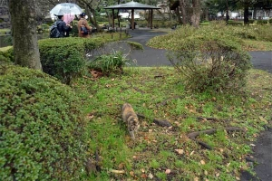 日比谷公園の猫  Goma/Gabby The Cat