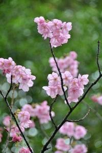 陽光桜 YōKō Sakura