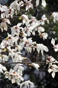コブシ Magnolia kobus in 日比谷公園