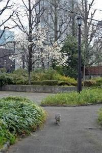 コブシ猫 in 日比谷公園