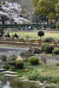 Sakura Tree In The Park
