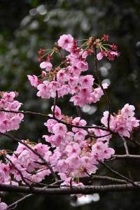 YōKō Sakura