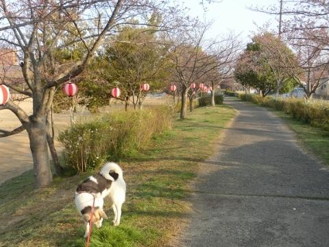 2018-03-28 桜散歩 031 (480x360) (2)
