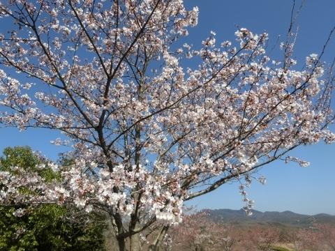 2018-03-28 桜 030 (480x360)