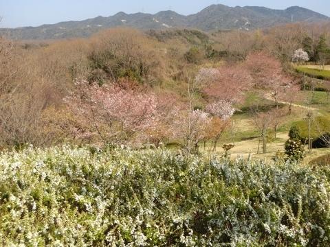 2018-03-28 桜 033 (480x360)