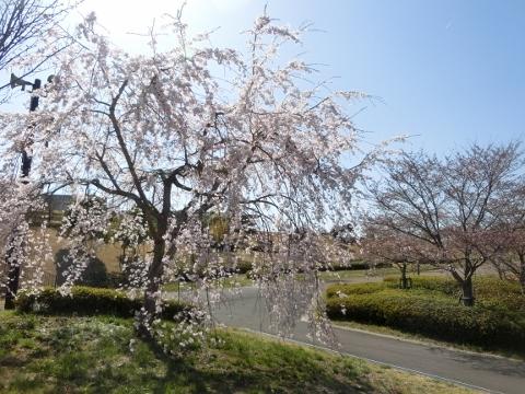 2018-03-28 桜 040 (480x360)
