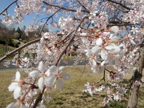 2018-03-28 桜 041 (480x360)