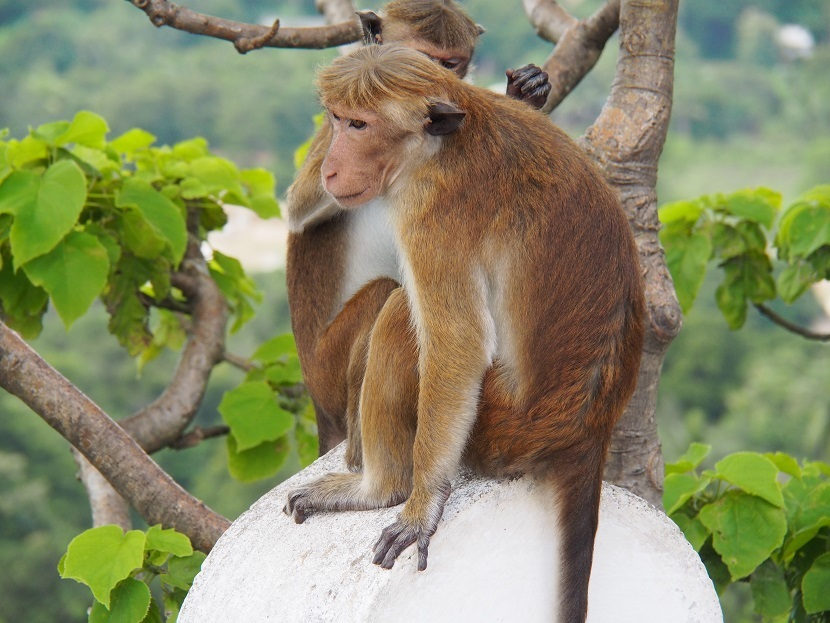 悪い猿_スリランカ2017