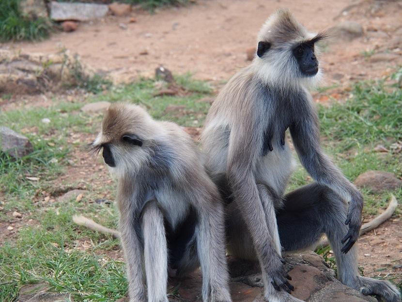 白猿_スリランカ2017