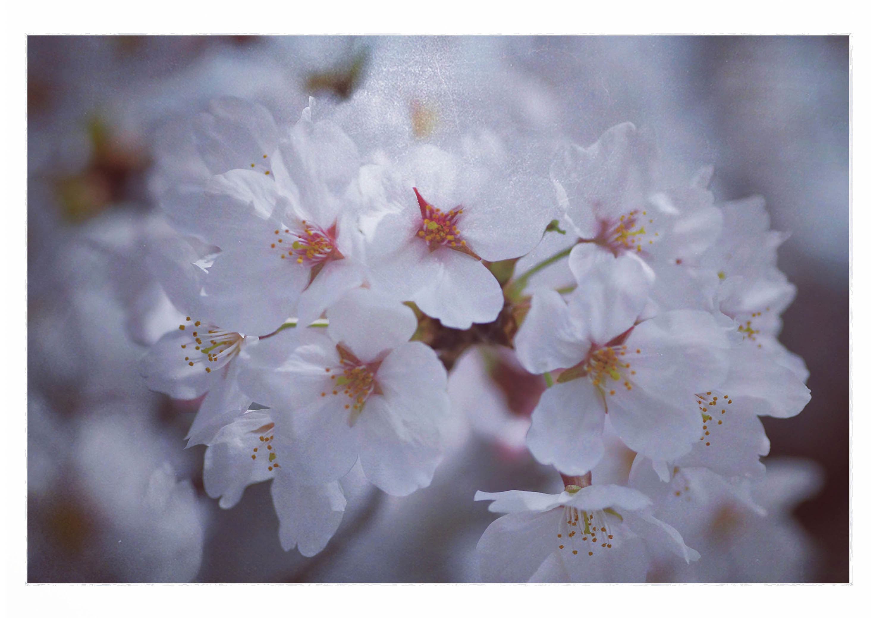 今年の桜psd