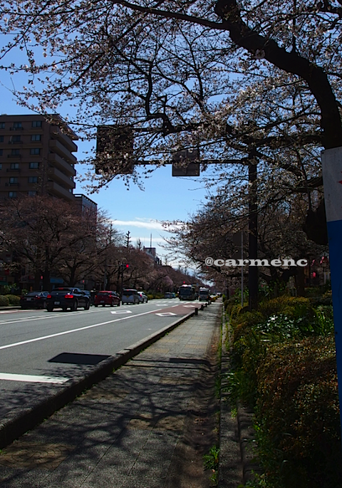 大学通桜5分咲き