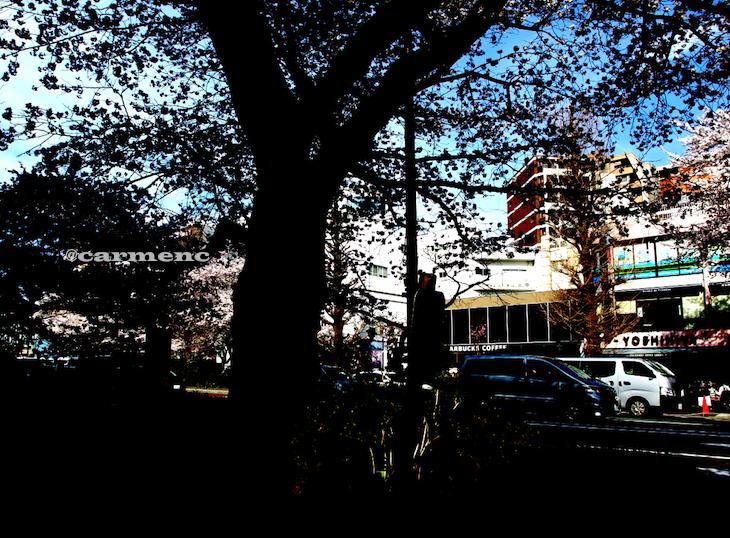 桜の街逆光