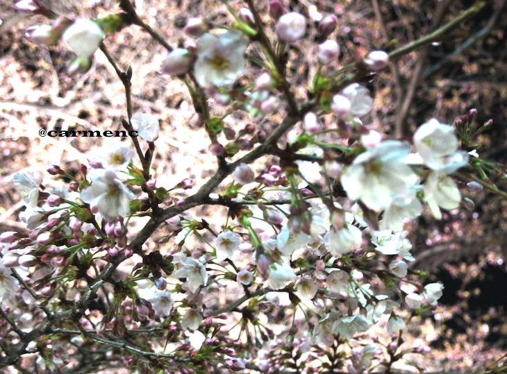 満開の桜いっぱい