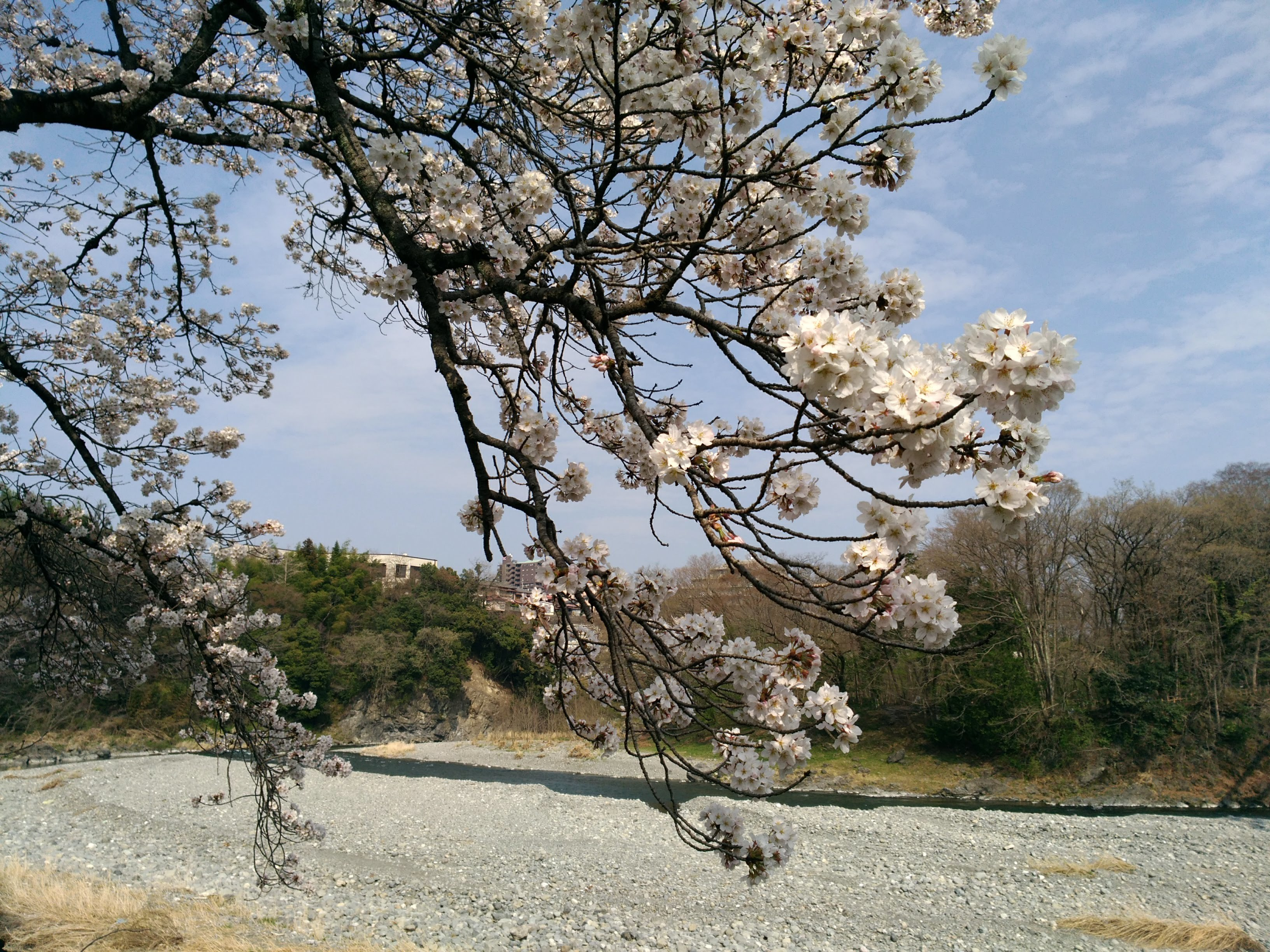 釜ヶ淵の桜2