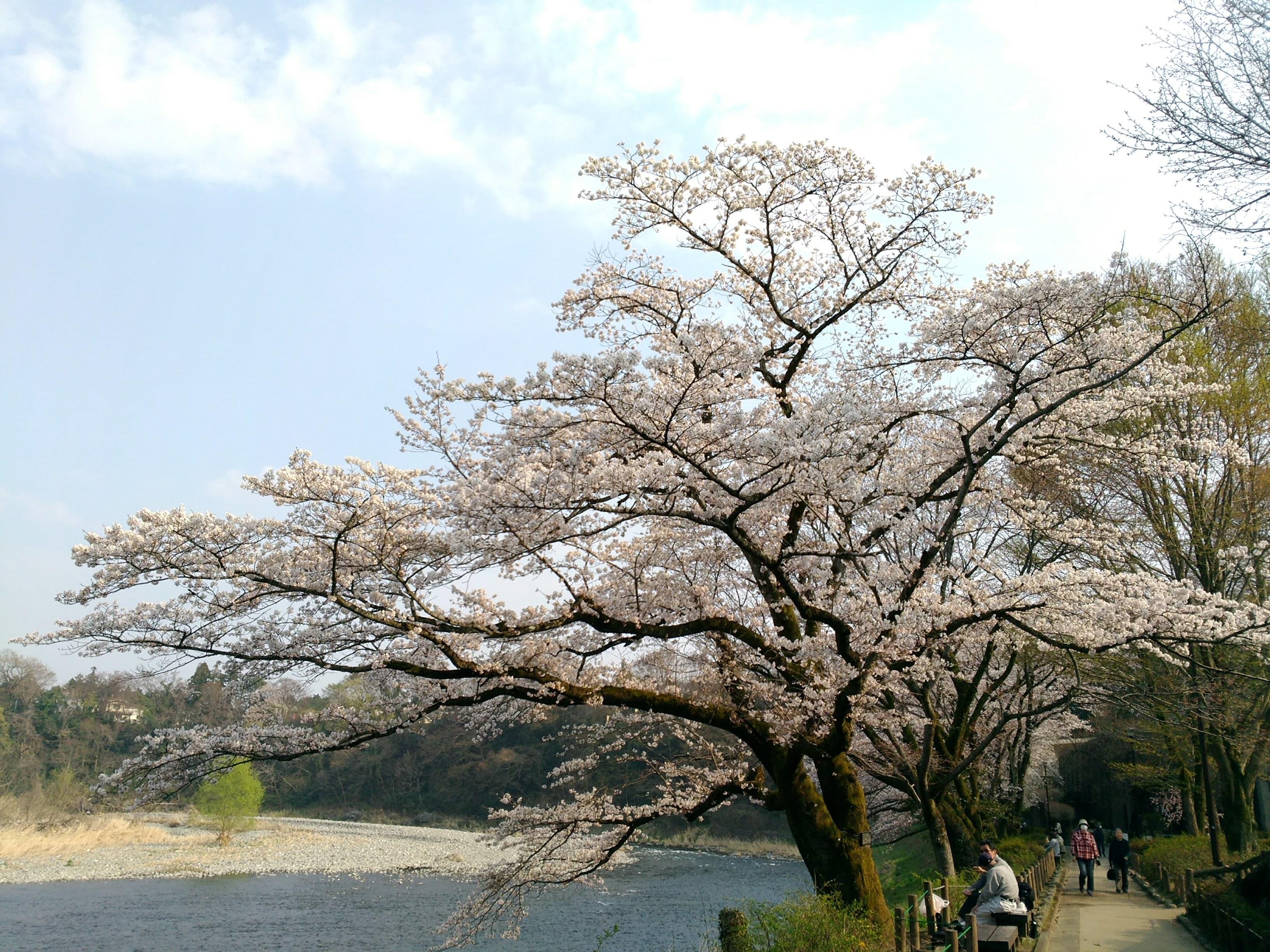 釜ヶ淵の桜1