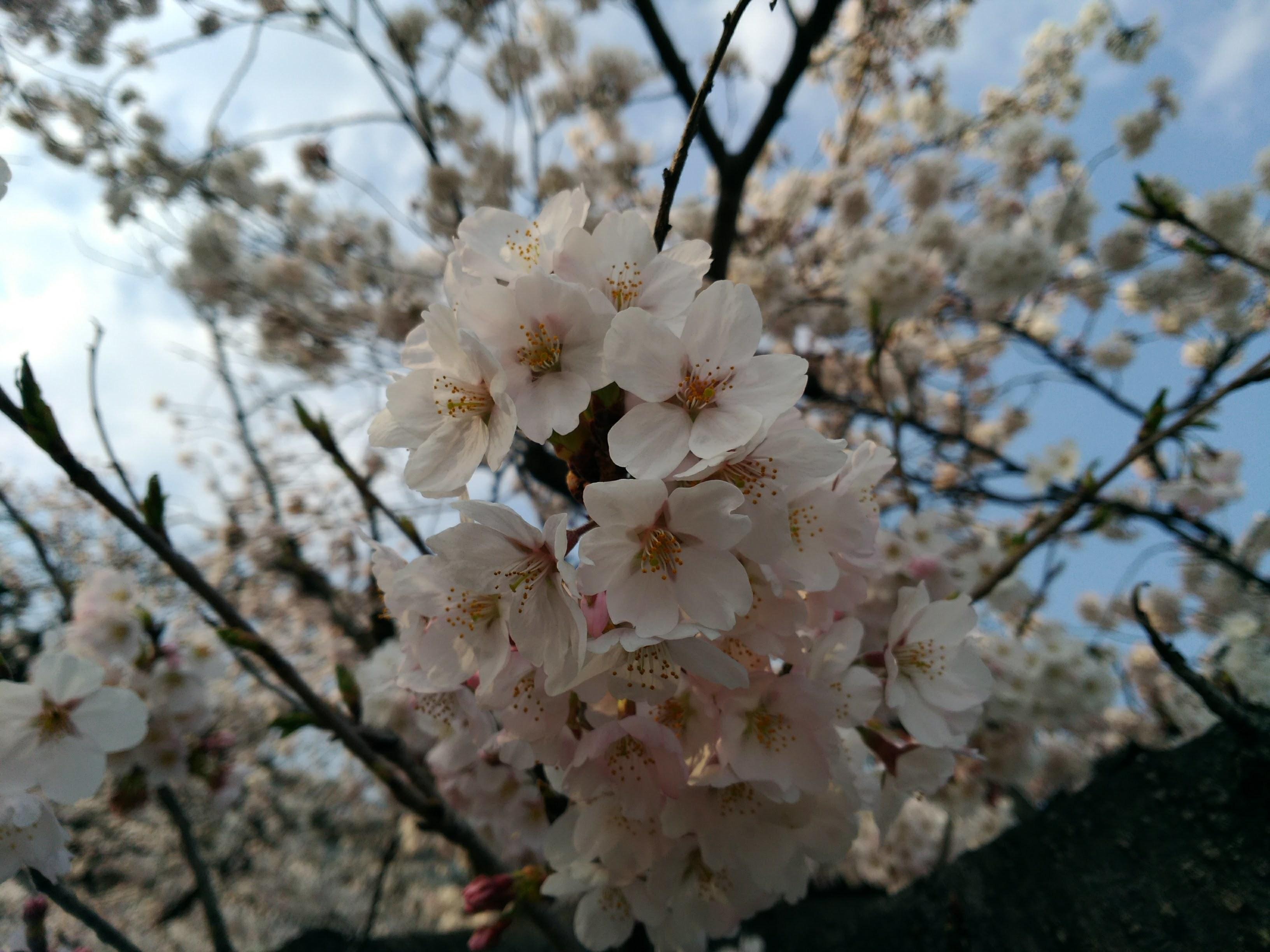 釜ヶ淵の桜3