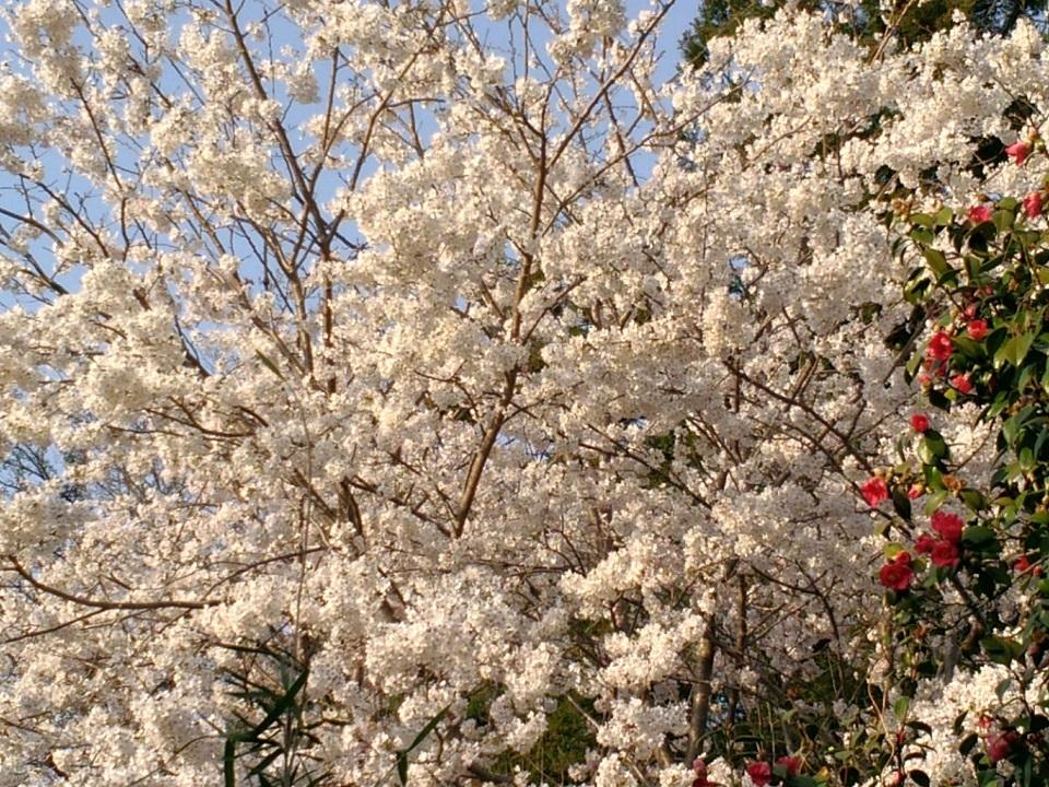 マルセルの桜